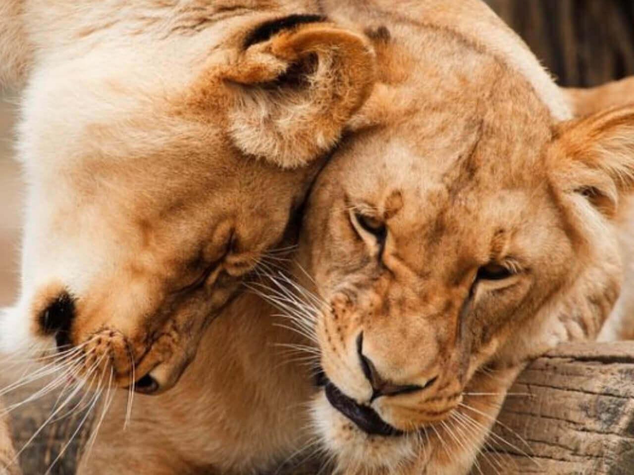 仲良く寄り添う2匹の虎