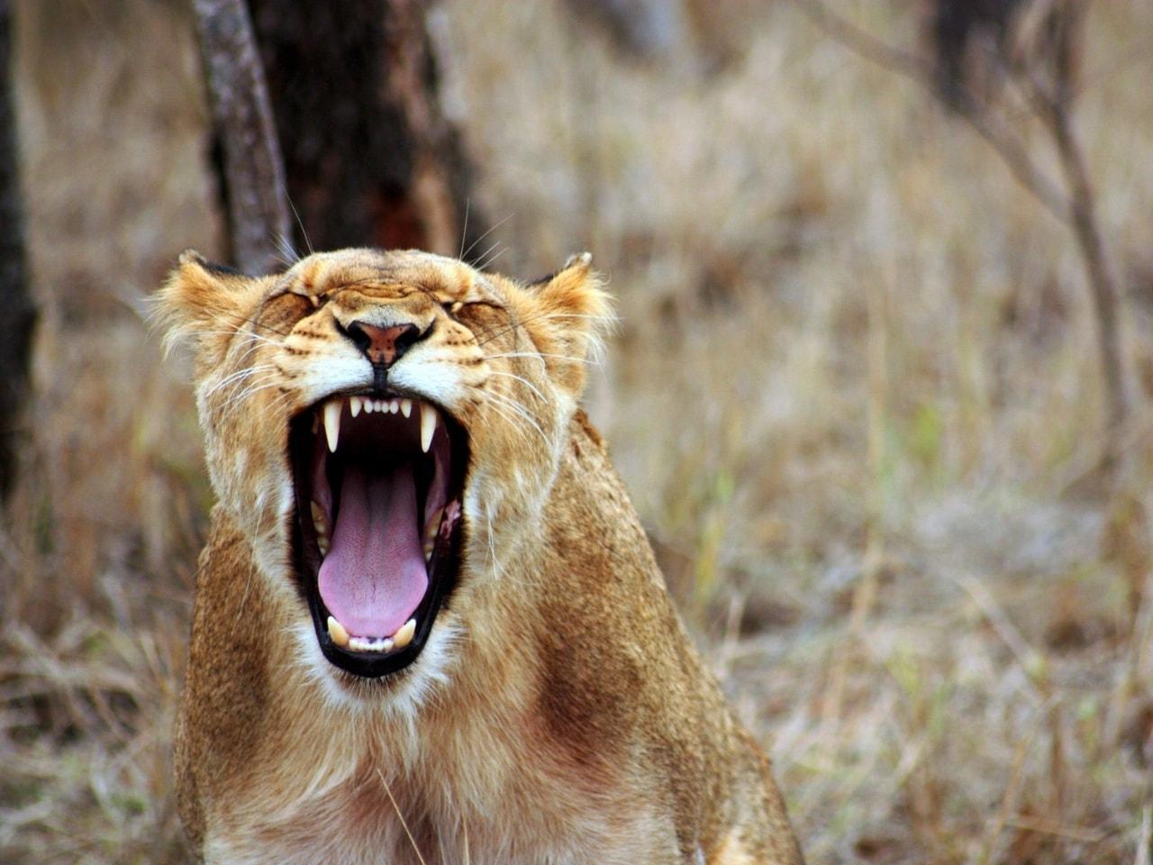 感情をコントロールできずに吠える虎