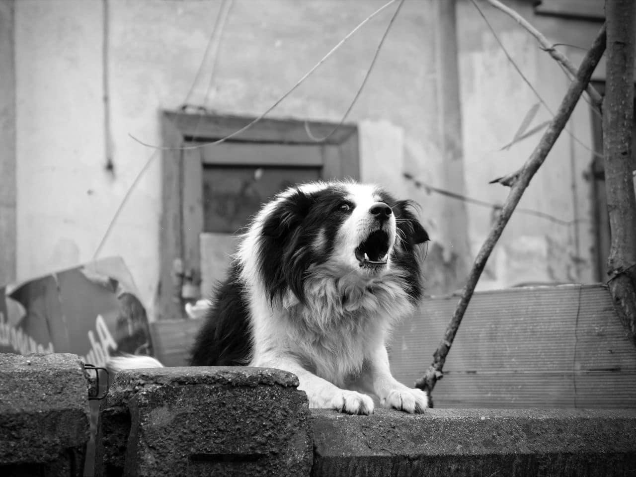 威嚇して優位を保とうと吠える犬