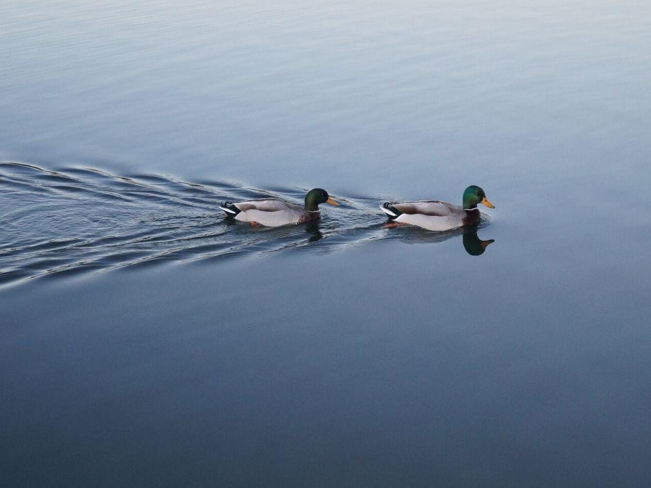 仲良く湖面を泳ぐ二羽の鴨