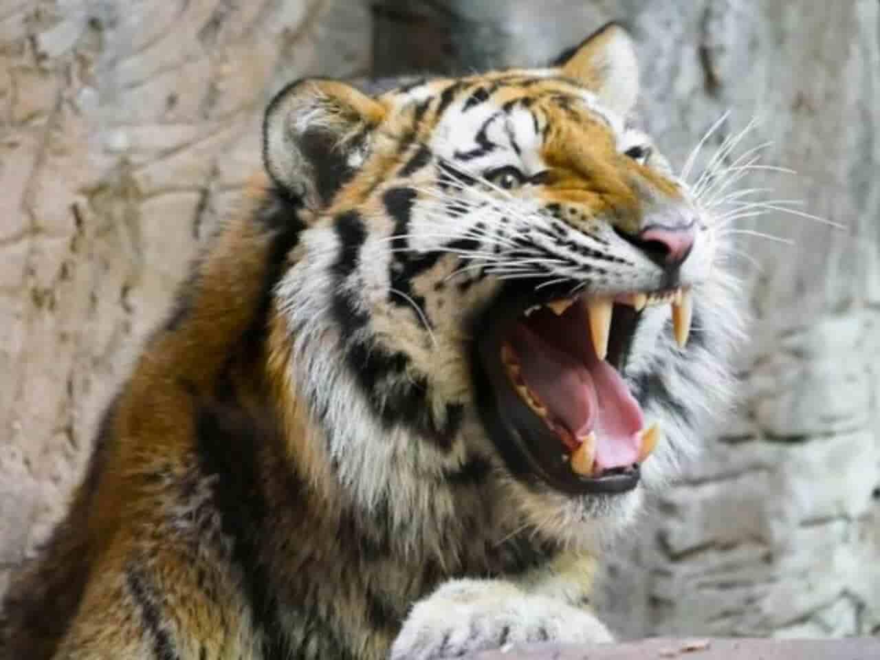 激しく怒り吠えるトラ