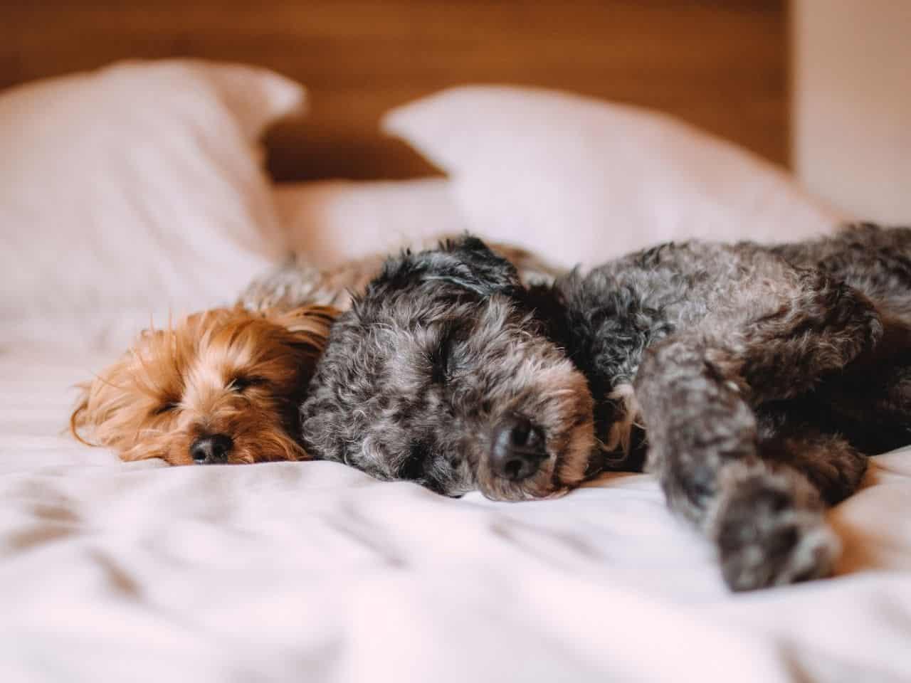 ベッドでよく眠っているトイプードル