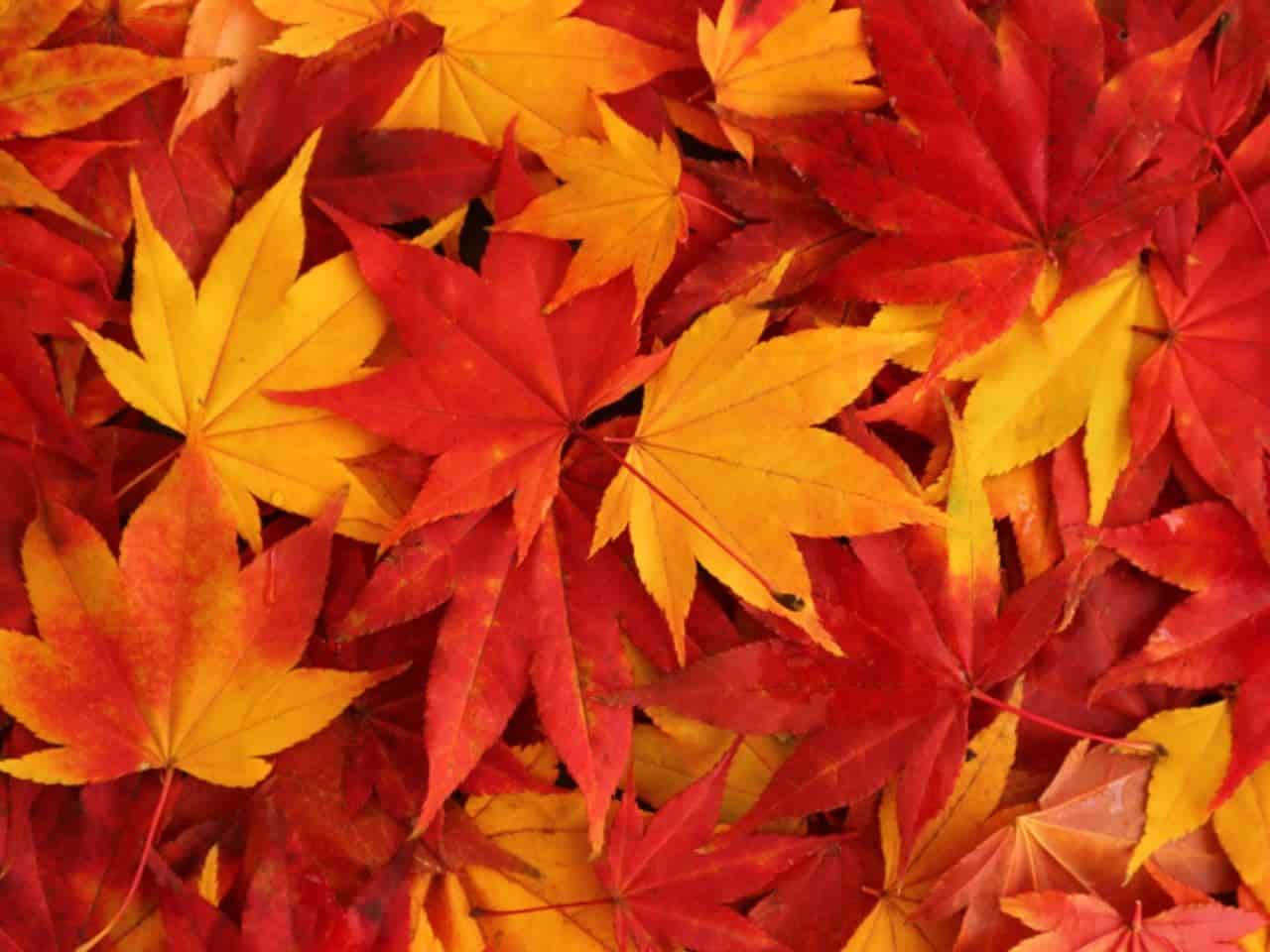 赤く色づいたカエデの葉