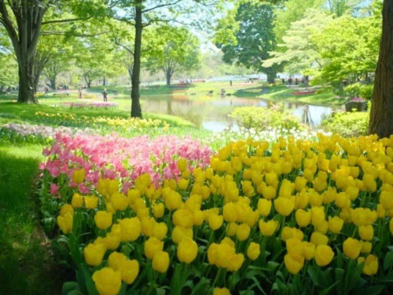 広場に咲くチューリップ
