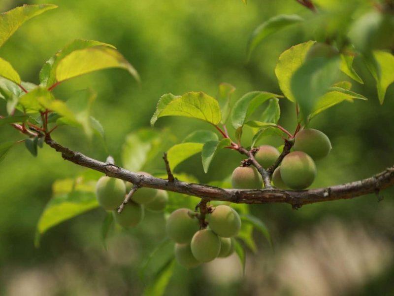 梅の実がついた木