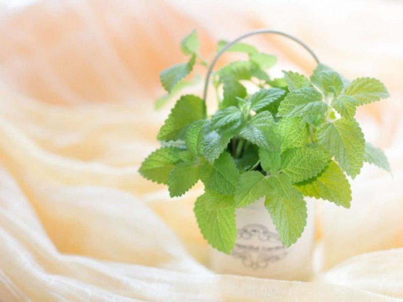 透明な花瓶に入ったミントの葉